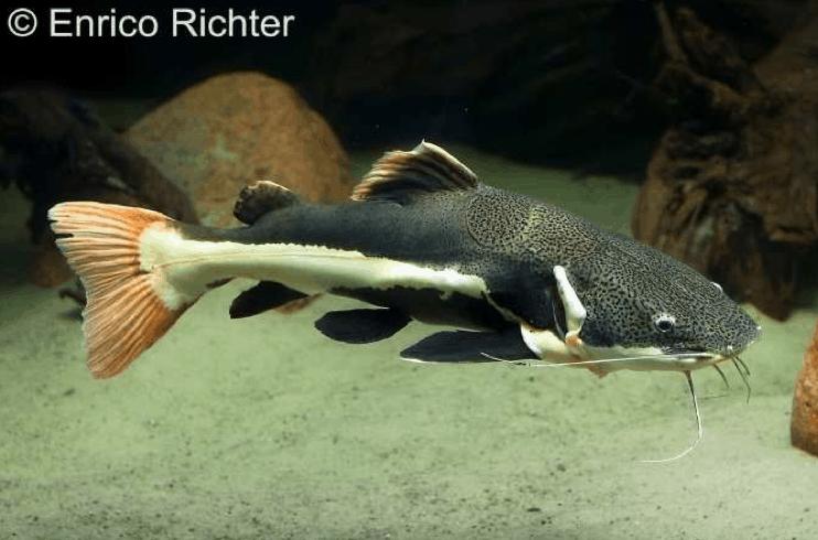 Phractocephalus hemioliopterus - Rotflossen-Antennenwels 2