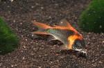 Corydoras eques