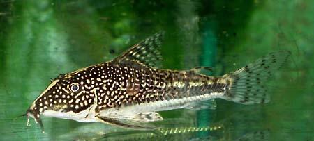 Corydoras barbatus schabracken panzerwels my fish for Robuste zierfische