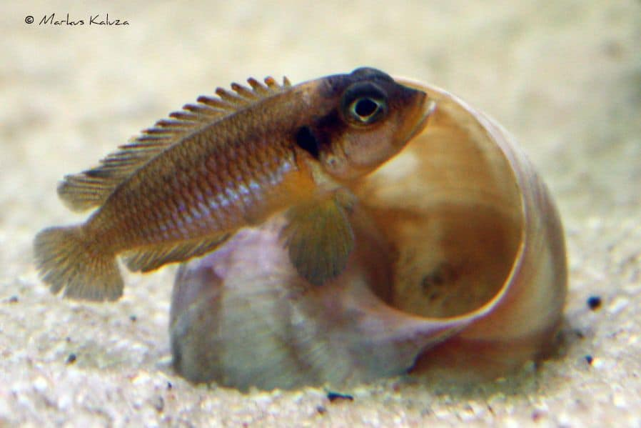 Neolamprologus ocellatus - Tanganjika-Schneckenbarsch 10