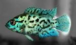 Cichlasoma_octofasciatus_Blue_Dempsey_b