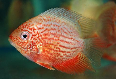 Cichlasoma severum red gold augenfleckbuntbarsch rot for Robuste zierfische
