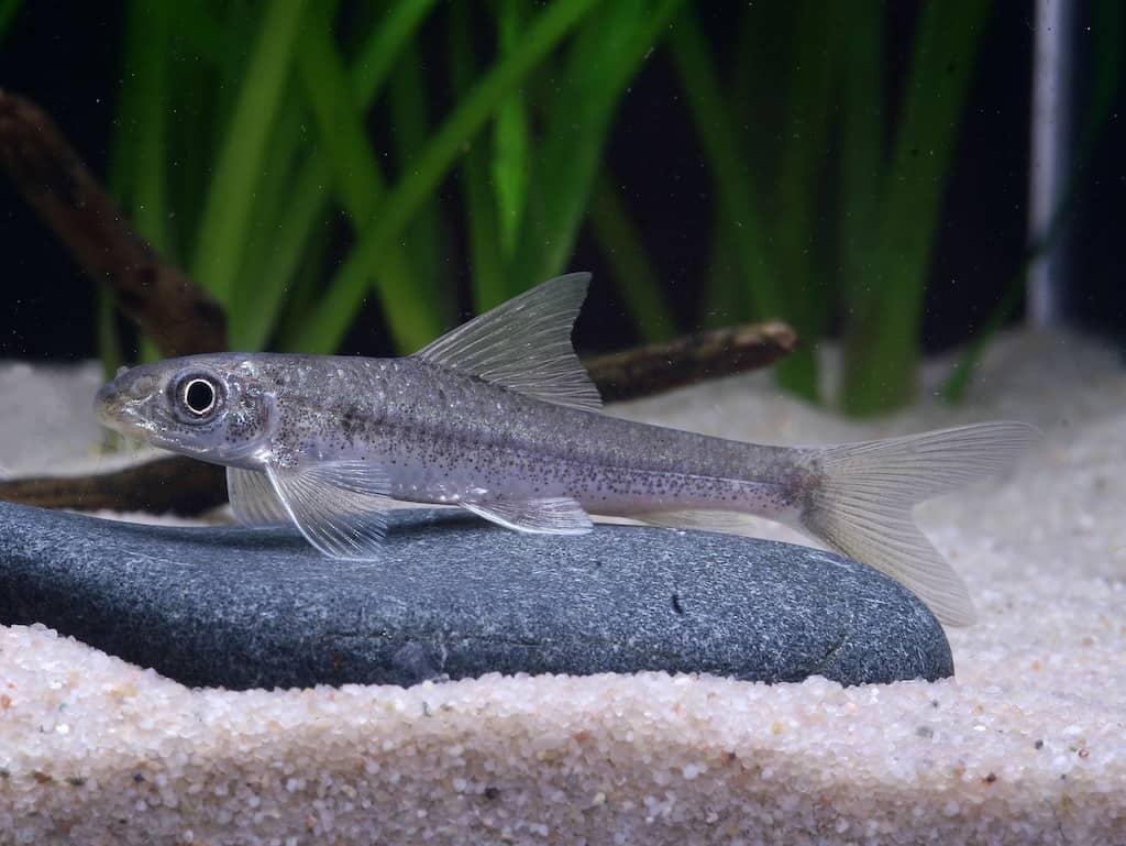 Algenfresser – nützliche Helfer im Aquarium 5