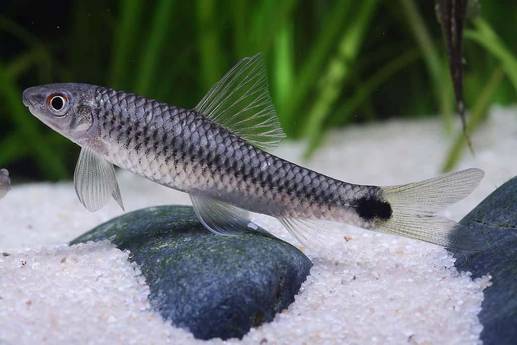 Algenfresser n tzliche helfer im aquarium my fish for Kleine zierfische