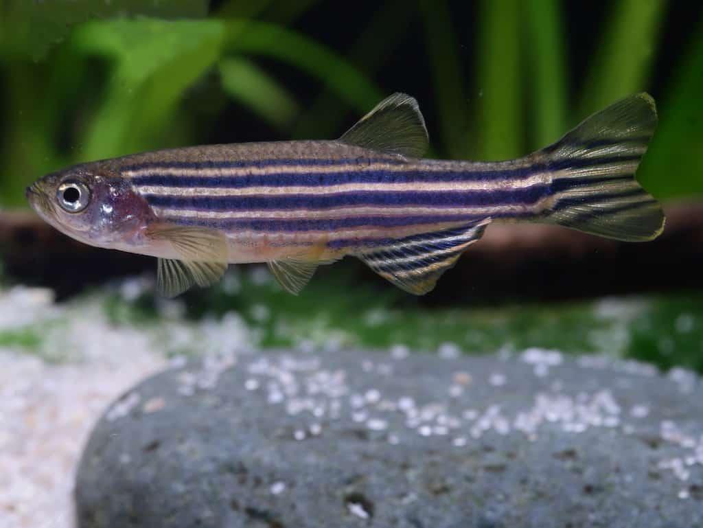 Interessante Aquarienbewohner - Barben 2