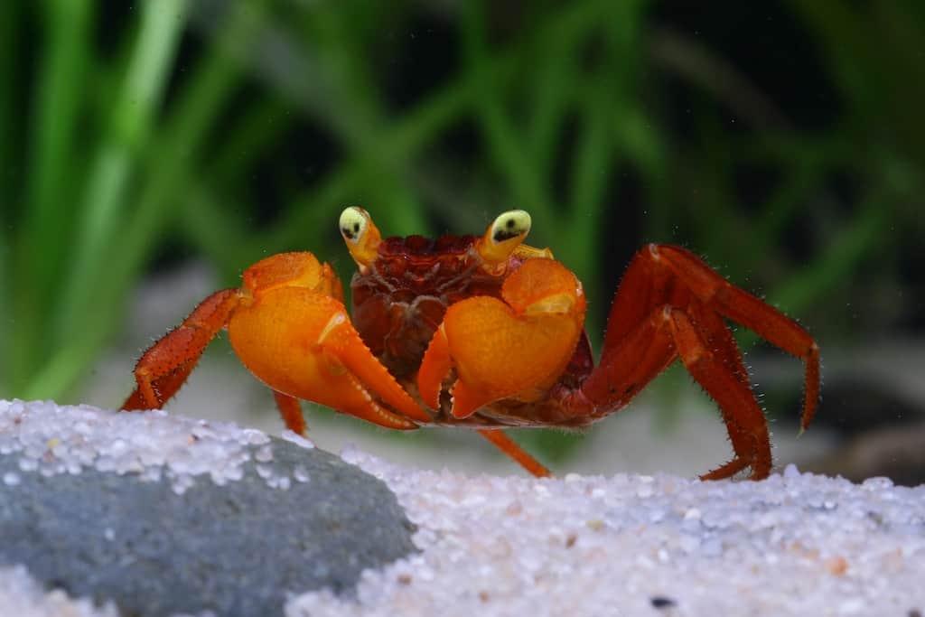 "Geosesarma notophorum - ""Mandarin"" Krabbe 1"