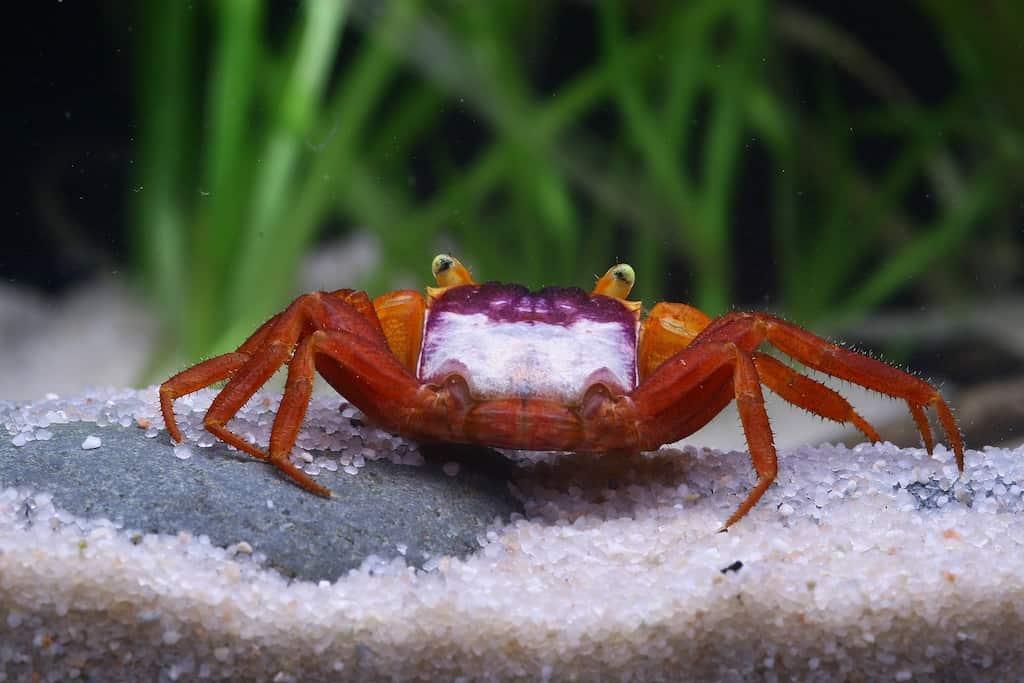 "Geosesarma notophorum - ""Mandarin"" Krabbe 2"