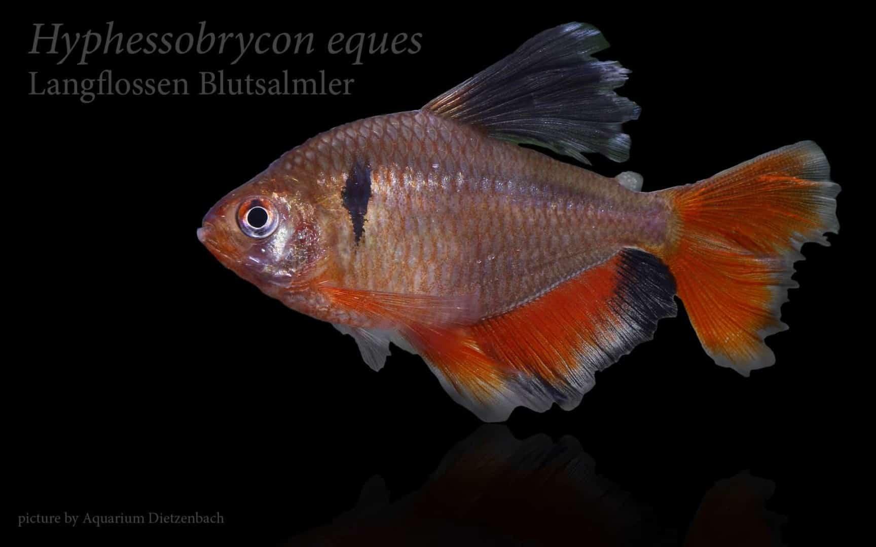 Hyphessobrycon eques - Blutsalmler 4