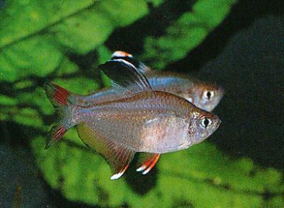 Interessante Aquarienbewohner - Salmler 3