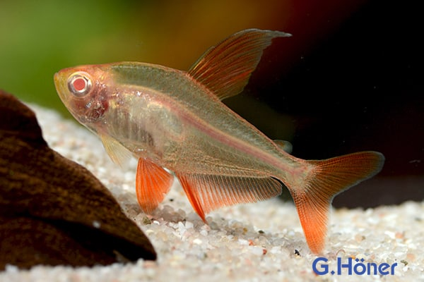 Hyphessobrycon sweglesi - Roter Phantomsalmler 10