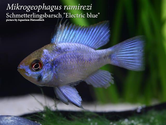 Mikrogeophagus ramirezi - Schmetterlingsbuntbarsch 22