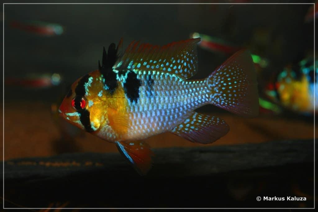 Mikrogeophagus ramirezi - Schmetterlingsbuntbarsch 10