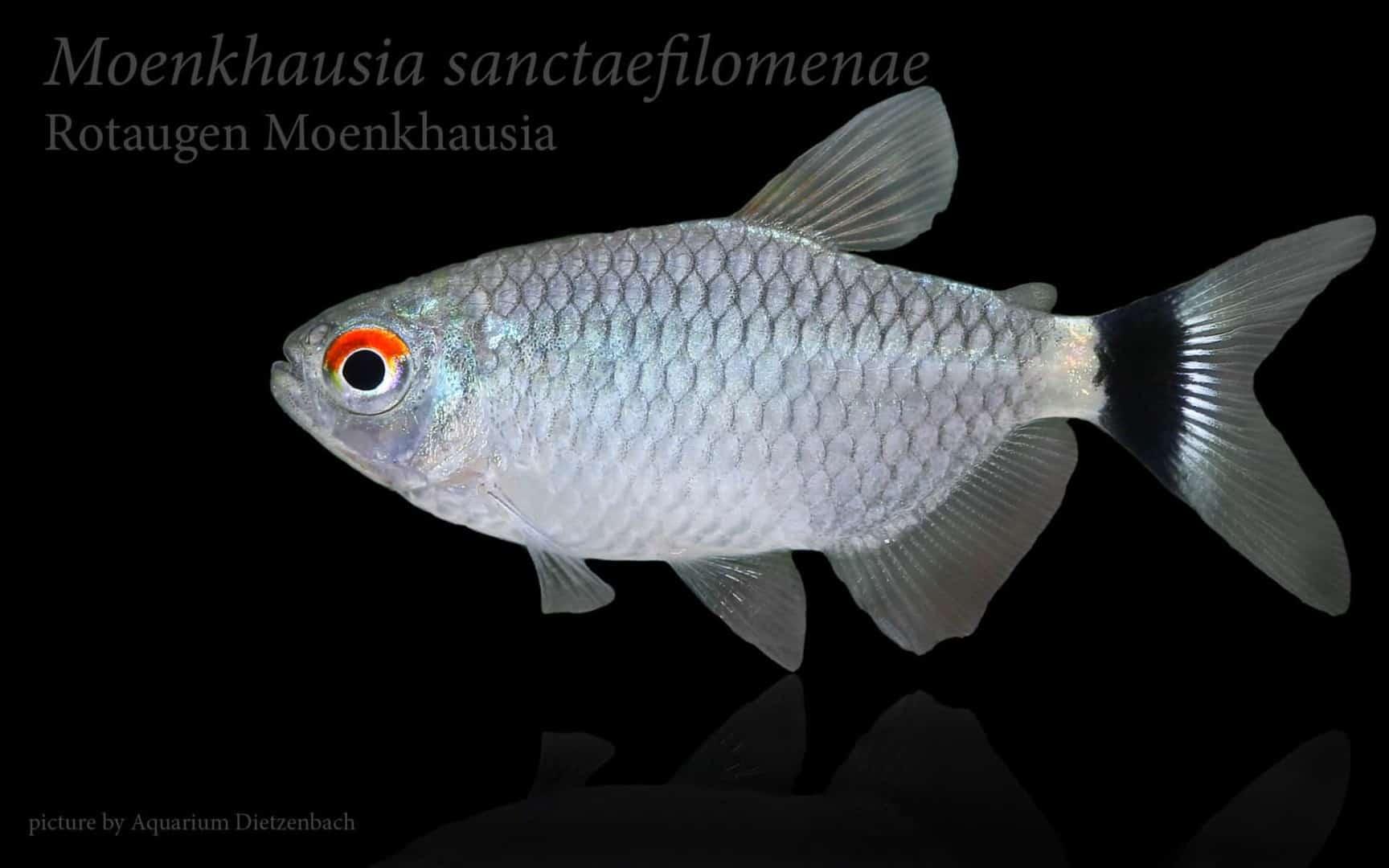 Moenkhausia sanctaefilomenae - Rotaugen-Monkhausia 3