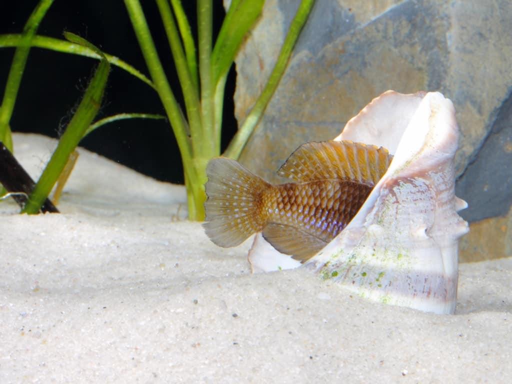 Neolamprologus ocellatus - Tanganjika-Schneckenbarsch 4