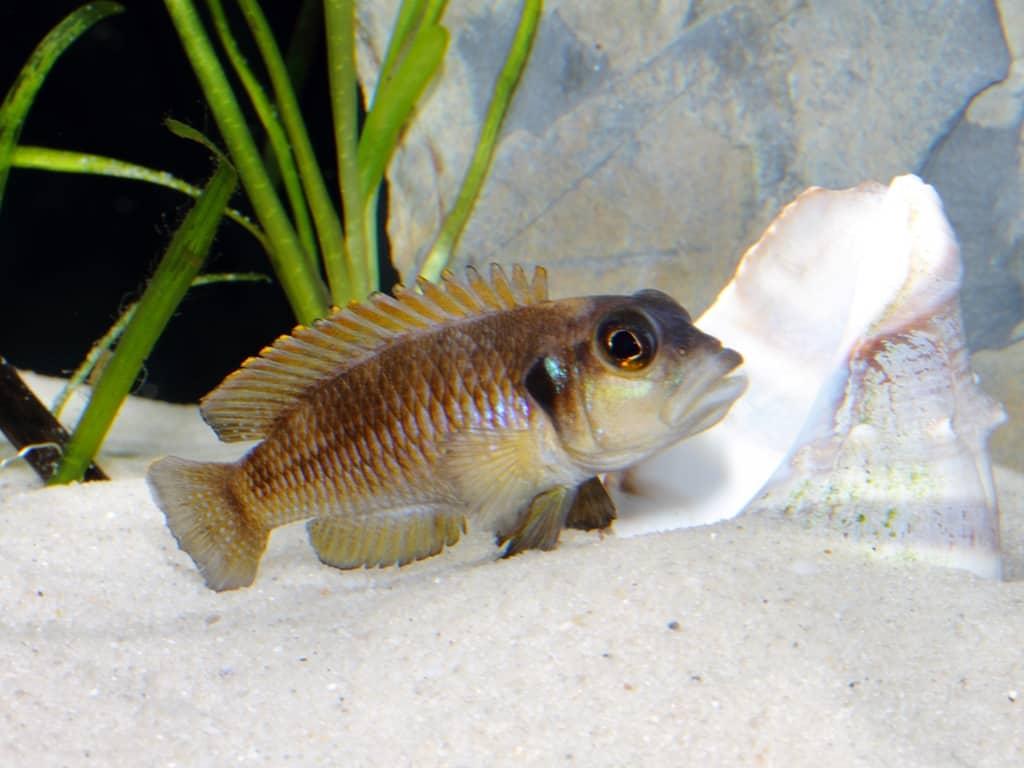 Neolamprologus ocellatus - Tanganjika-Schneckenbarsch 6