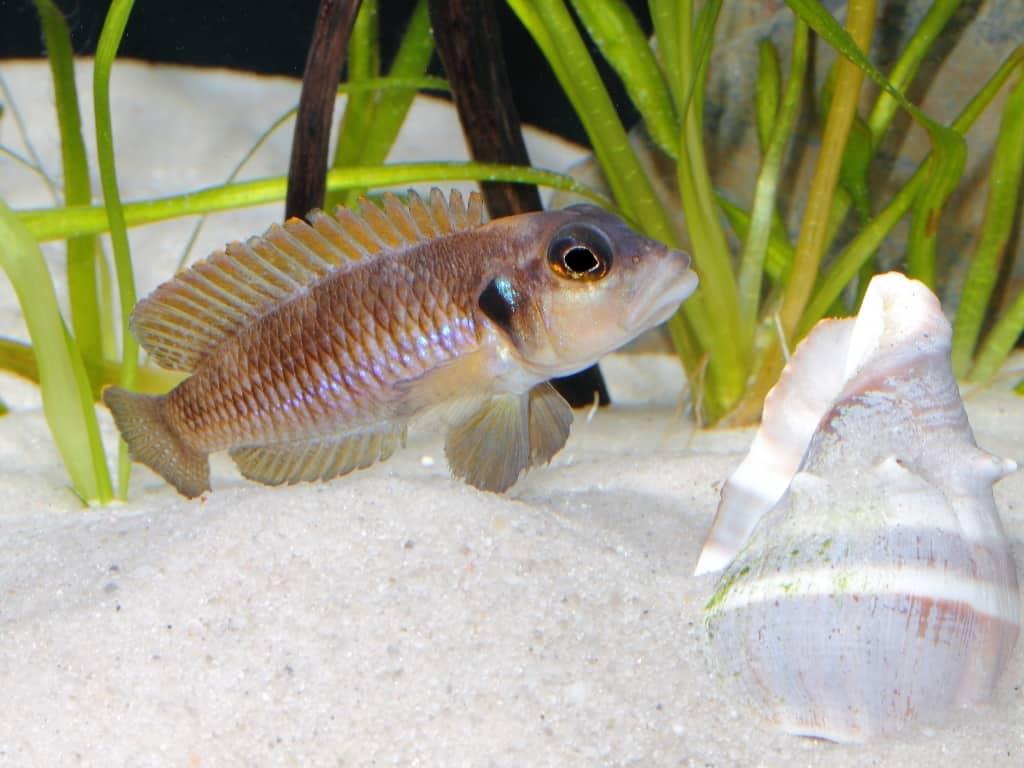 Neolamprologus ocellatus - Tanganjika-Schneckenbarsch 1