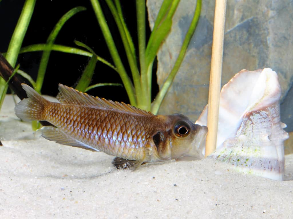 Neolamprologus ocellatus - Tanganjika-Schneckenbarsch 8