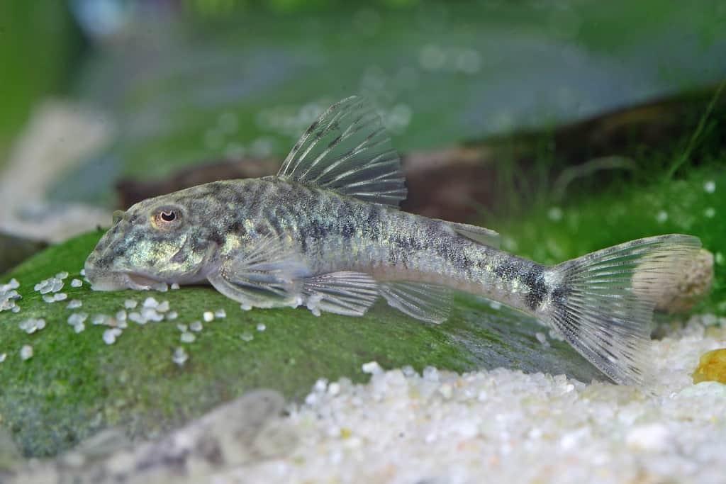 Algenfresser n tzliche helfer im aquarium my fish for Aquarium fische im teich