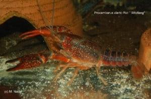 Procambarus clarkii - Roter Flusskrebs 2