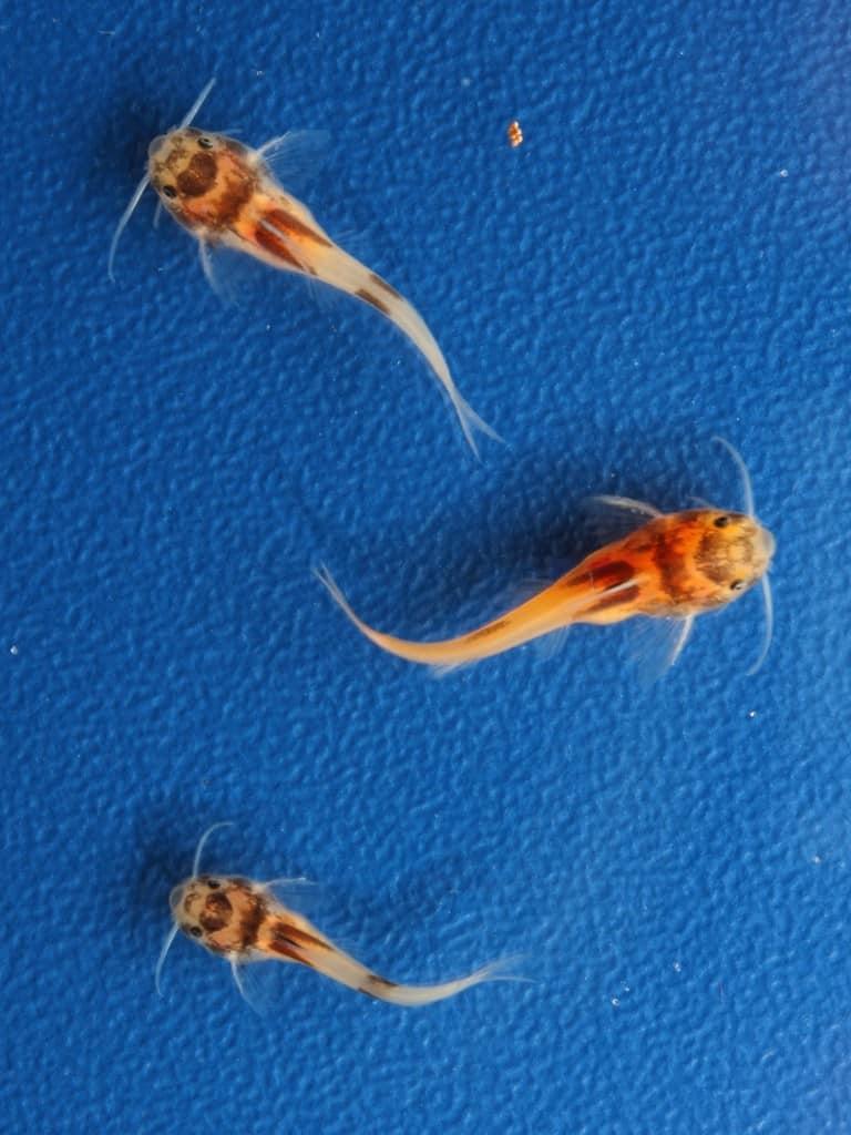 Synodontis lucippinis - Zwerg Fiederbartwels 5