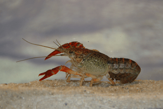 Procambarus clarkii - Roter Flusskrebs 4