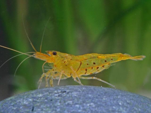 """Caridina cf. cantonensis - """"Tiger golden"""" Zwerggarnele 1"""