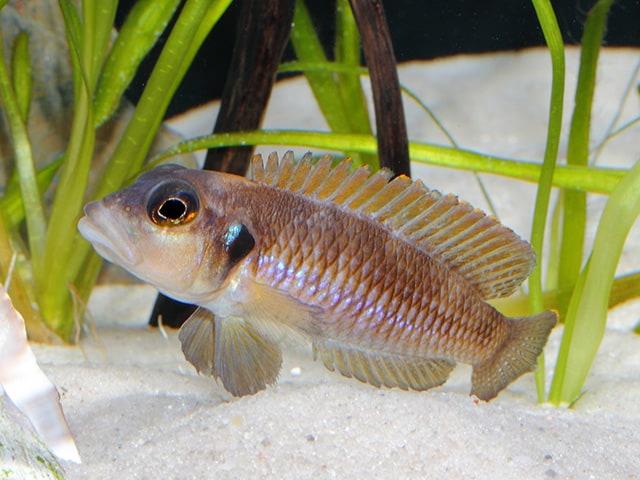Neolamprologus ocellatus - Tanganjika-Schneckenbarsch 11