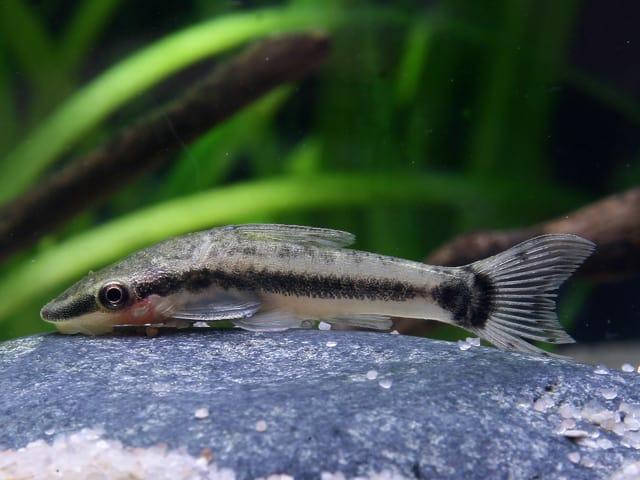 Interessante Aquarienbewohner - Welse 4