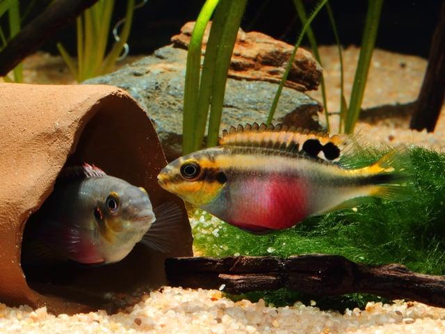 Interessante Aquarienbewohner - Buntbarsche 6