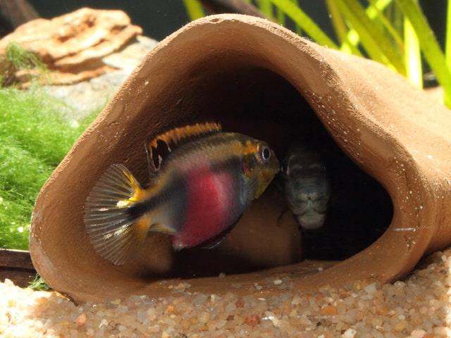 Pelvicachromis pulcher - Purpurprachtbuntbarsch 16