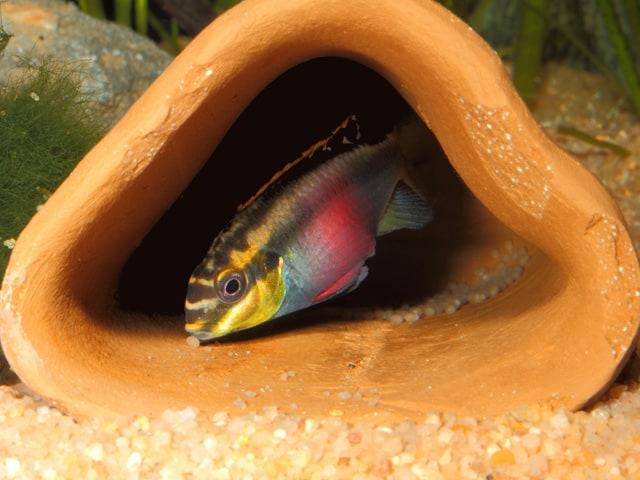 Buntbarsche My Fish