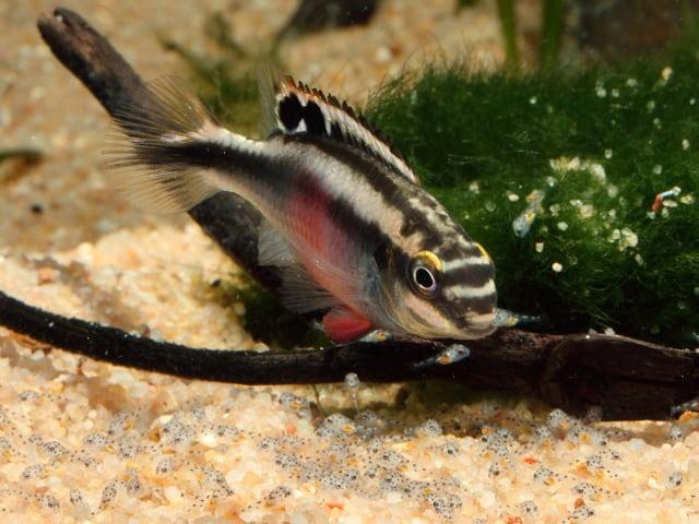 Pelvicachromis pulcher - Purpurprachtbuntbarsch 13