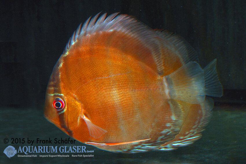 Symphysodon aequifasciatus - Diskus 13