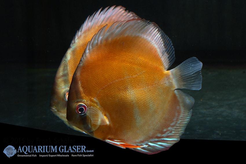 Symphysodon aequifasciatus - Diskus 14