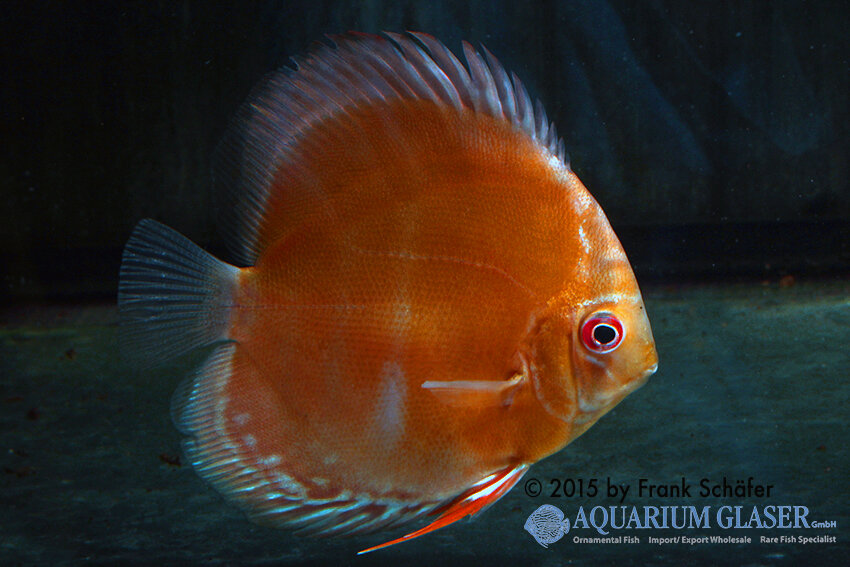 Symphysodon aequifasciatus - Diskus 15