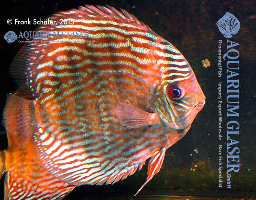 Symphysodon aequifasciatus - Diskus 16
