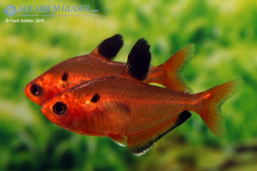 Hyphessobrycon eques - Blutsalmler 5