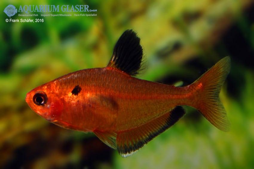 Hyphessobrycon eques - Blutsalmler 6