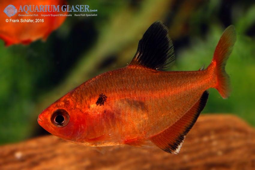 Hyphessobrycon eques - Blutsalmler 7