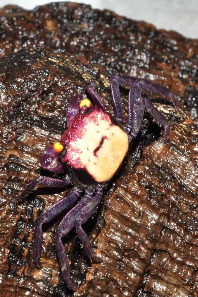"""Geosesarma bicolor - """"Vampir"""" Krabbe"""" 2"""