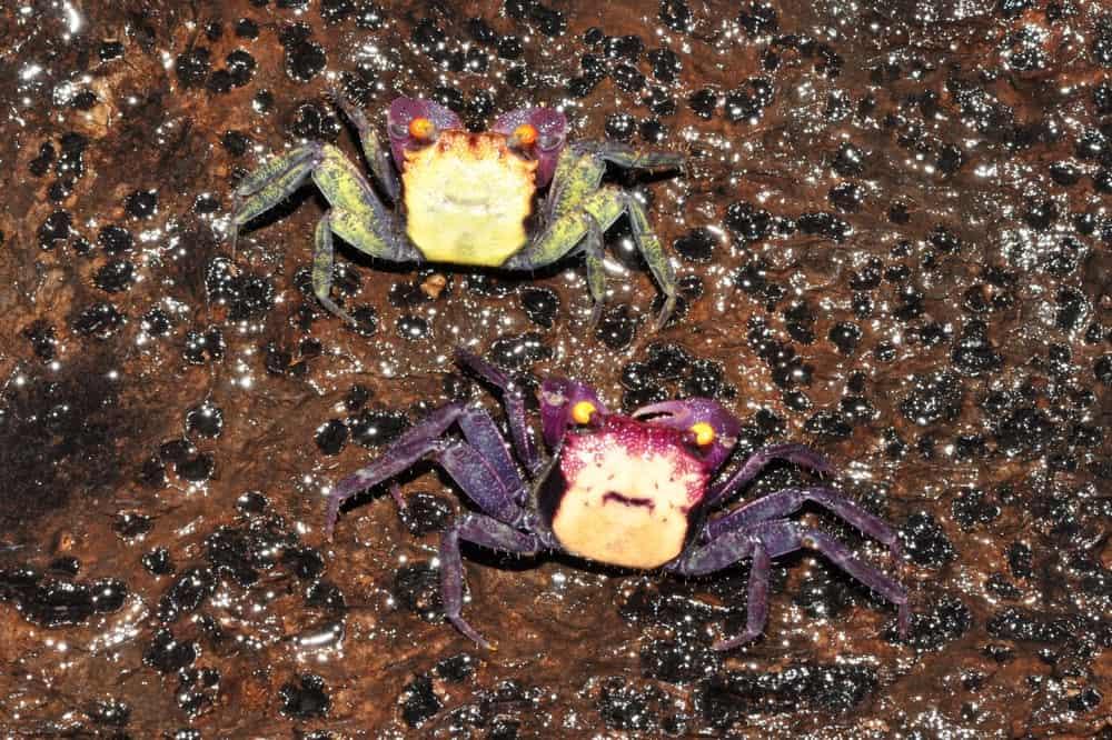 """Geosesarma bicolor - """"Vampir"""" Krabbe"""" 4"""