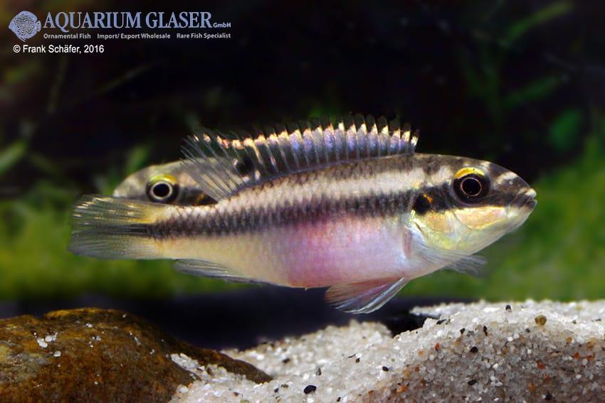 Pelvicachromis pulcher - Purpurprachtbuntbarsch 18