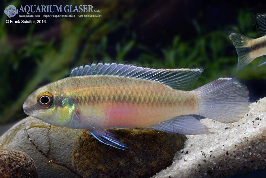 Pelvicachromis pulcher - Purpurprachtbuntbarsch 19