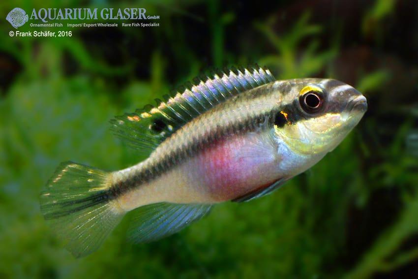 Pelvicachromis pulcher - Purpurprachtbuntbarsch 20