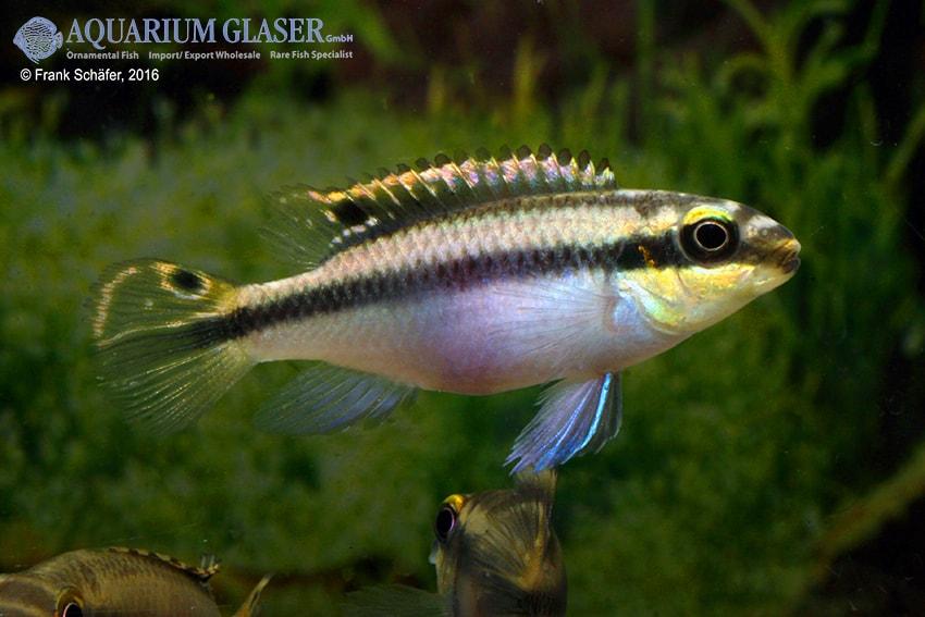 Pelvicachromis pulcher - Purpurprachtbuntbarsch 21