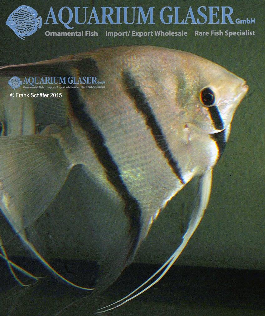 Pterophyllum scalare - Skalar 16