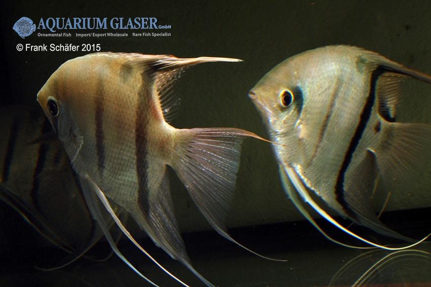 Pterophyllum scalare - Skalar 23