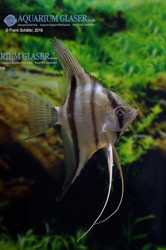 Pterophyllum scalare - Skalar 26
