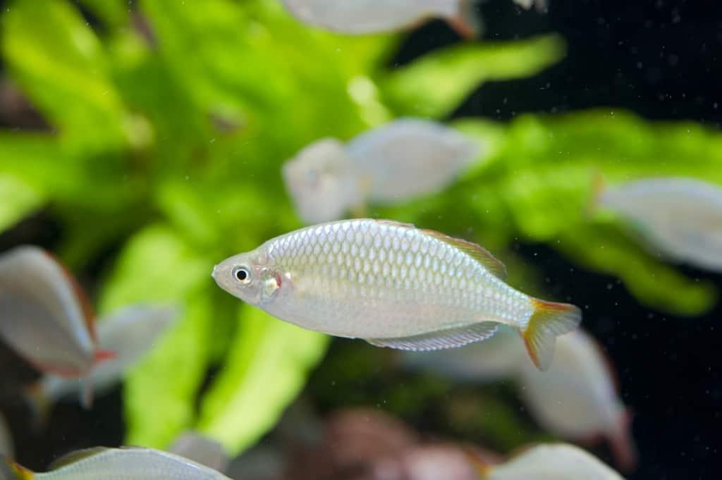Melanotaenia praecox - Diamant-Regenbogenfisch 4
