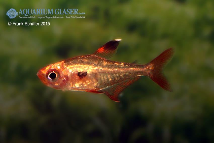 Hyphessobrycon sweglesi - Roter Phantomsalmler 4